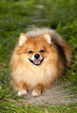 Czerwony kostrzewiastego psa lying on the beach na zielonej trawy purebred Spitz przystojnym fa Obrazy Stock
