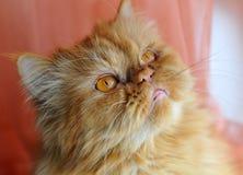 Czerwony kot Obrazy Stock