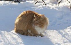Czerwony kot zdjęcia royalty free