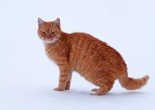czerwony kot Fotografia Stock