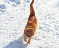 Czerwony kot Zdjęcie Stock