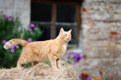 Czerwony kot chodzi outdoors Zdjęcie Stock
