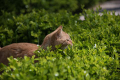 Czerwony kot dostaje przygotowywający skakać Obrazy Stock