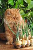Czerwony kot i cebula Zdjęcia Royalty Free