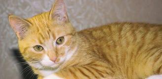 Czerwony kot kłama na swój miejscu zdjęcia royalty free