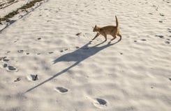 Czerwony kot na śniegu z ogromnym cieniem, wieś, Polska Zdjęcie Stock
