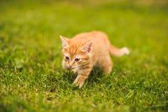 Czerwony kot na zielonej trawie fotografia royalty free