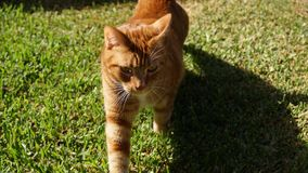 czerwony kot na zielonej trawie outdoors fotografia stock