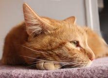 Czerwony kot prawie uśpiony Zdjęcie Royalty Free