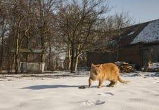 Czerwony kot przeciw niektóre jak budynki, wieś, Polska Fotografia Stock