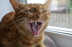 Czerwony kot siedzi na nadokiennym parapecie na okno na brown poduszce i ziewa otwarte usta Fangs zobaczą Otwiera usta z ostrym b zdjęcia royalty free