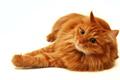 Czerwony kot strzelający na biały tle Obrazy Royalty Free