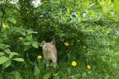 Czerwony kot w krzaku Obraz Stock