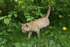Czerwony kot w krzaku Obrazy Royalty Free