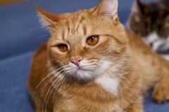 Czerwony kot z śmieszną twarzą fotografia stock