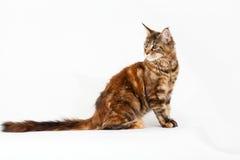 Czerwony kot z kitkami na ucho Zdjęcia Royalty Free