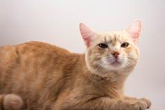 Czerwony kot z tobą zdjęcia royalty free
