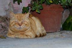 Czerwony kota dosypianie w cieniu słój kwiaty fotografia stock