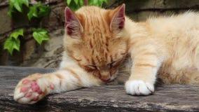 Czerwony kota liźnięcie zdjęcie wideo