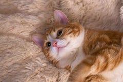 Czerwony kota lying on the beach na łóżku Zwierzę domowe leżanki odpoczywać Puszysty kota sleepin zdjęcia stock