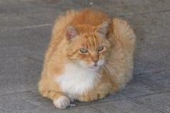 Czerwony kota lying on the beach na podłoga bawić się z kamieniem zdjęcia stock