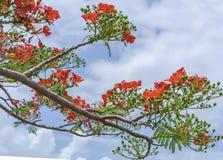Czerwony królewski poinciana kwiatów kwiat Fotografia Royalty Free