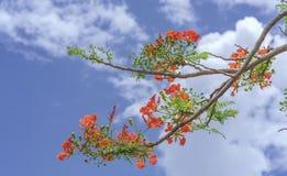 Czerwony królewski poinciana kwiatów kwiat Zdjęcie Stock