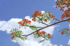 Czerwony królewski poinciana kwiatów kwiat Zdjęcia Stock