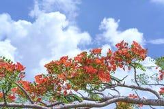 Czerwony królewski poinciana kwiatów kwiat Obraz Royalty Free