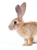 Czerwony królik obrazy royalty free