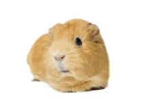 Czerwony królik doświadczalny Fotografia Royalty Free