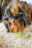 Czerwony królik doświadczalny zdjęcie stock