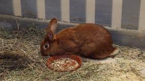 Czerwony królik w migdali zoo zbiory
