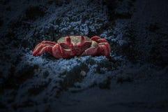 Czerwony krab na błękitnym piasku barwiącym zdjęcia royalty free