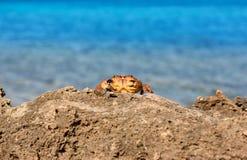 Czerwony krab na skale Zdjęcie Stock