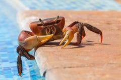 Czerwony krab Zamacza Swój palec u nogi W basenie Zdjęcia Stock