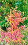 Czerwony krzak na tle zielony drzewo Obraz Royalty Free