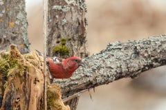 Czerwony krzyżodziób siedzi na drzewie Obraz Royalty Free