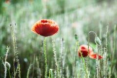 Czerwony kukurydzany maczek w łące (Papaver rhoeas) Zdjęcia Royalty Free