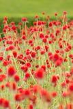 Czerwony kula ziemska amarant lub kawalera guzik Fotografia Stock