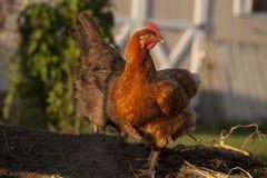 Czerwony kurczak na kompostowym stosie Obraz Stock