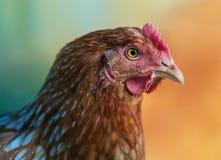 Czerwony kurczak w profilu Zdjęcie Stock