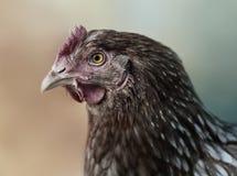 Czerwony kurczak w profilu Fotografia Stock