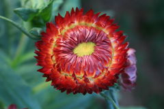 Czerwony kwiat: Ściśle płatek Obrazy Royalty Free