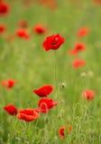 Czerwony kwiat Obrazy Stock