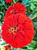 Czerwony kwiat Obrazy Royalty Free