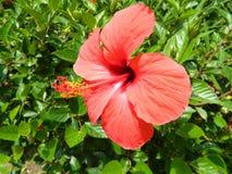 czerwony kwiat Zdjęcie Stock