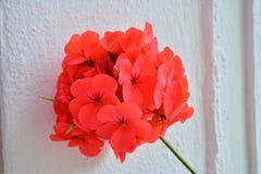 czerwony kwiat obraz royalty free