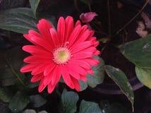 czerwony kwiat Zdjęcia Royalty Free