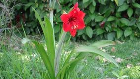 Czerwony kwiat Amaryllis w zielonym terenie fotografia royalty free